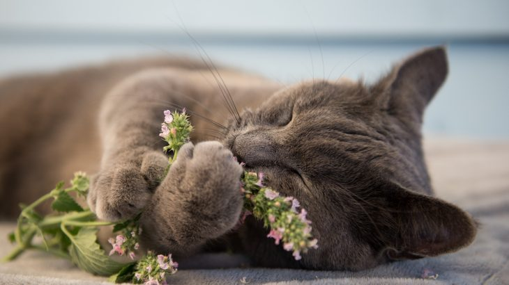 Catnip produces a substance that sends cats into a state of ecstasy and could give experts easier access to cancer fighting medications.