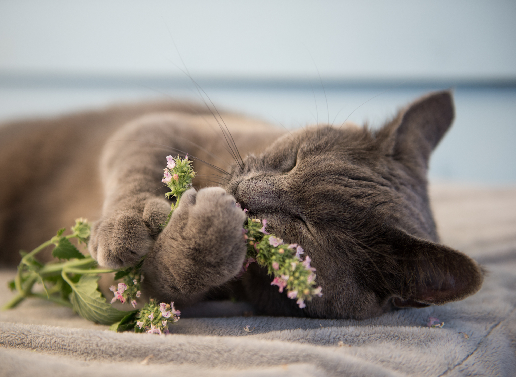 Catnip may give experts insight into cancer fighting