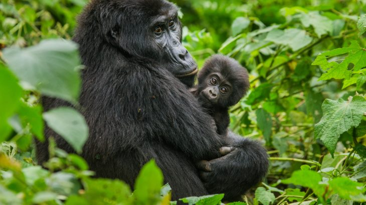 Mountain gorillas are no longer considered critically endangered, as their status is being reclassified as merely endangered.