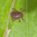 An invasive insect known as the Asian longhorned tick has been recently popping up in regions across North America.