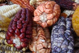 Researchers have determined that a predecessor of today's corn plants was brought to South America from Mexico more than 6,500 years ago.