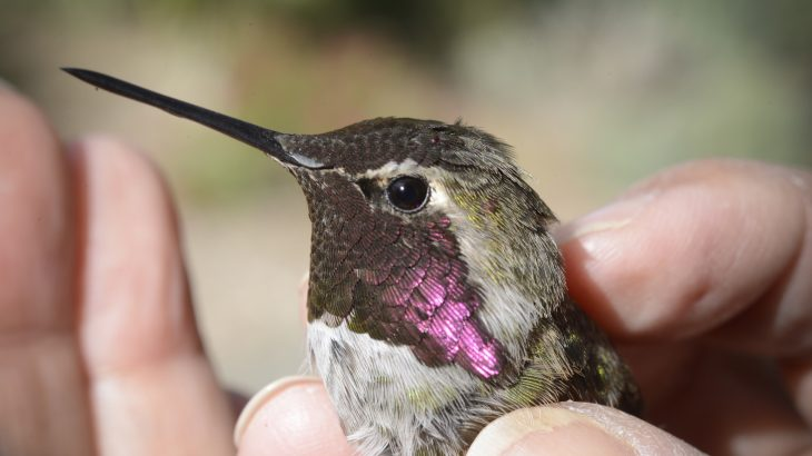 Bird feeders placed in urban environments are forcing typically solitary birds to interact with other hummingbirds while they feed.