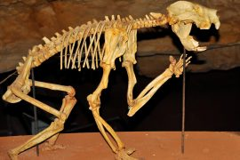 "Australia's extinct ""marsupial lion,"" or Thylacoleo carnifex, has intrigued palaeontologists for more than 150 years."