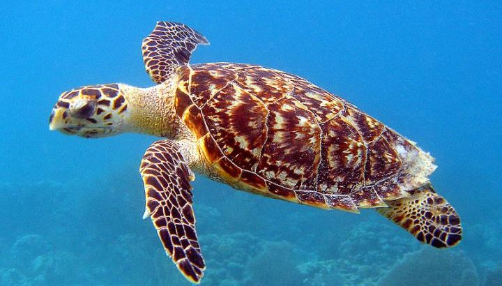 Climate change could put the survival of hawksbill turtles at risk.