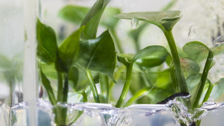 Researchers have genetically modified a common plant to remove chloroform and benzene from the air in your home.