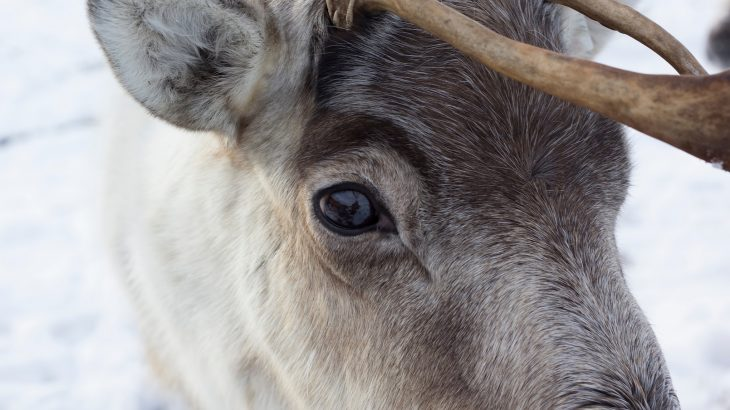A look at the differences (and similarities) between reindeer and caribou as well as the people who herd reindeer across the world.