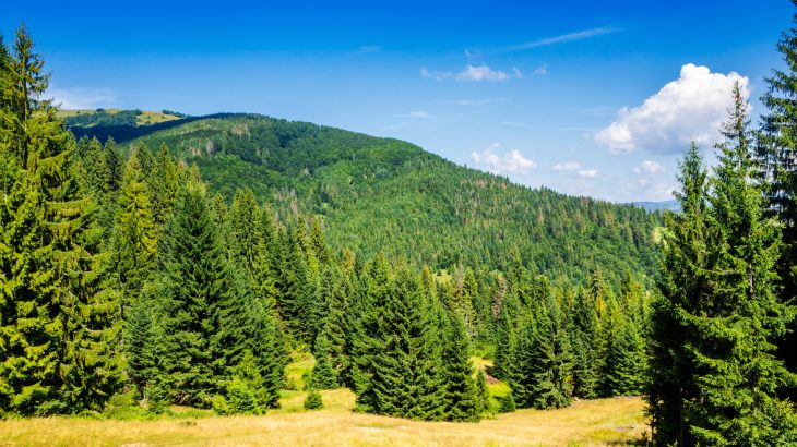As global warming continues to lengthen growing seasons, there are two possible scenarios for coniferous forests.