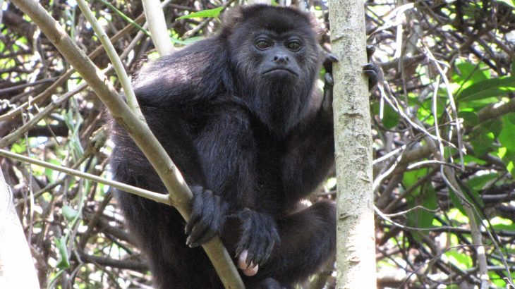 Researchers are still working to unravel the mysteries of speciation, and a new study of hybrid howler monkeys is offering some key insights.