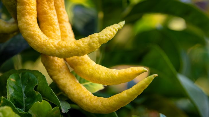 A new study highlights the role of Jewish culture in the widespread adoption of citrus fruit by early societies.