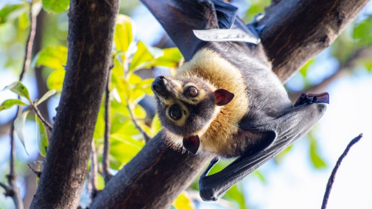 A recent heat wave in Queensland, Australia killed off a huge number of spectacled flying foxes. Extreme weather events are becoming more common, putting wildlife in danger.