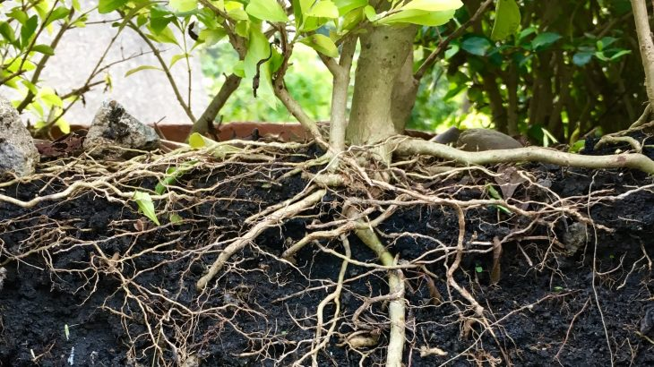 Plant roots can sense the availability of moisture in the surrounding soil and adapt their shape for optimal water uptake.