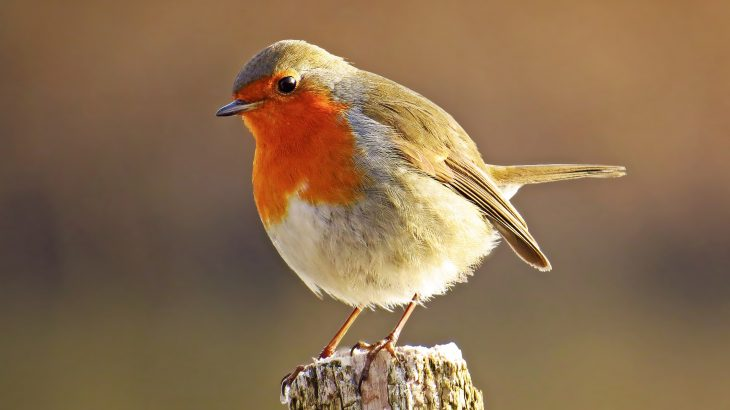 A new study shows that noise from wind turbines interferes with a strategy used by robins to protect their territory.