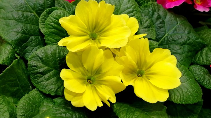 For over 150 years, scientists have been working to solve the mystery of the primrose plant and its two unique flowering forms.