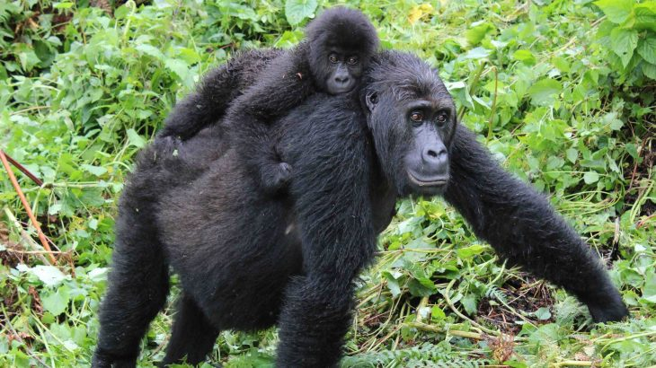 Grauer's gorilla, which is classified as critically endangered, has recently lost genetic diversity and has accumulated harmful mutations.