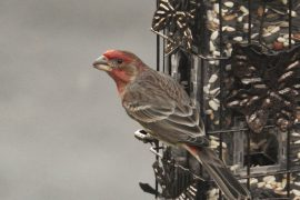 A new study from Washington State University has found that the breeding seasons of wild house finches are shifting due to climate change.