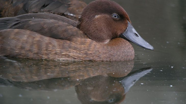 Madagascar pochards were believed to be extinct for 15 years, and are now likely to be the rarest birds in the world.