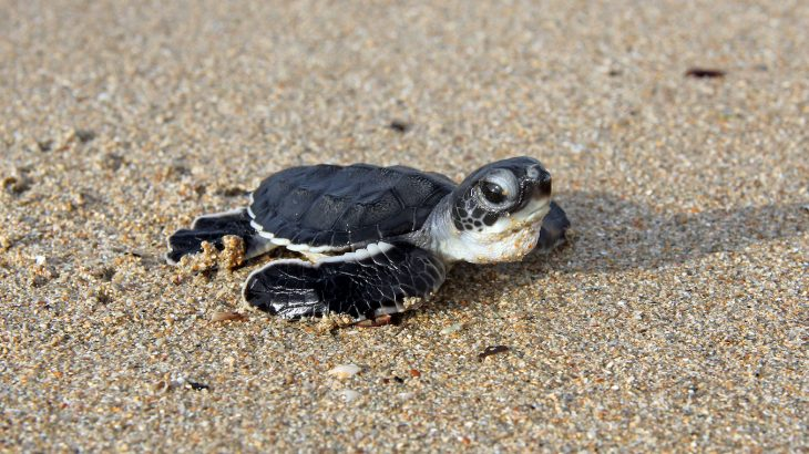 Researchers are warning that up to 93 percent of green turtle hatchlings could be born female by the end of this century.