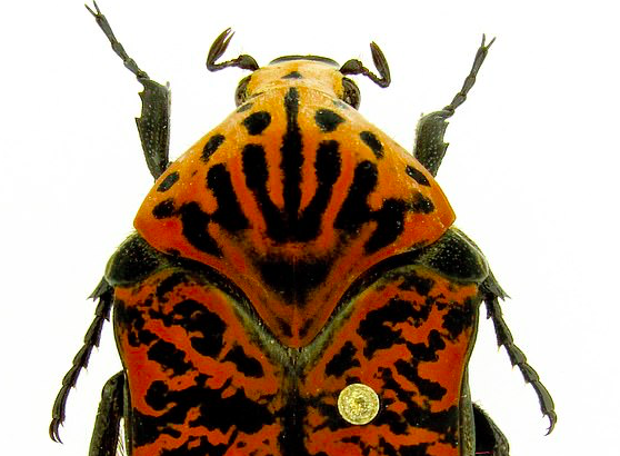 """Three new species of beetle will forever share their names with the dragons from the HBO series """"Game of Thrones."""""""