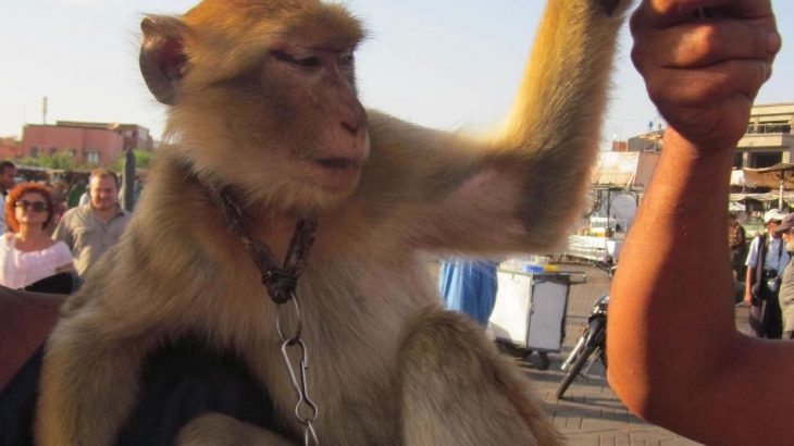 Even though Barbary macaques are highly endangered, one barbary macaque may end posing 18 times per hour for photos.
