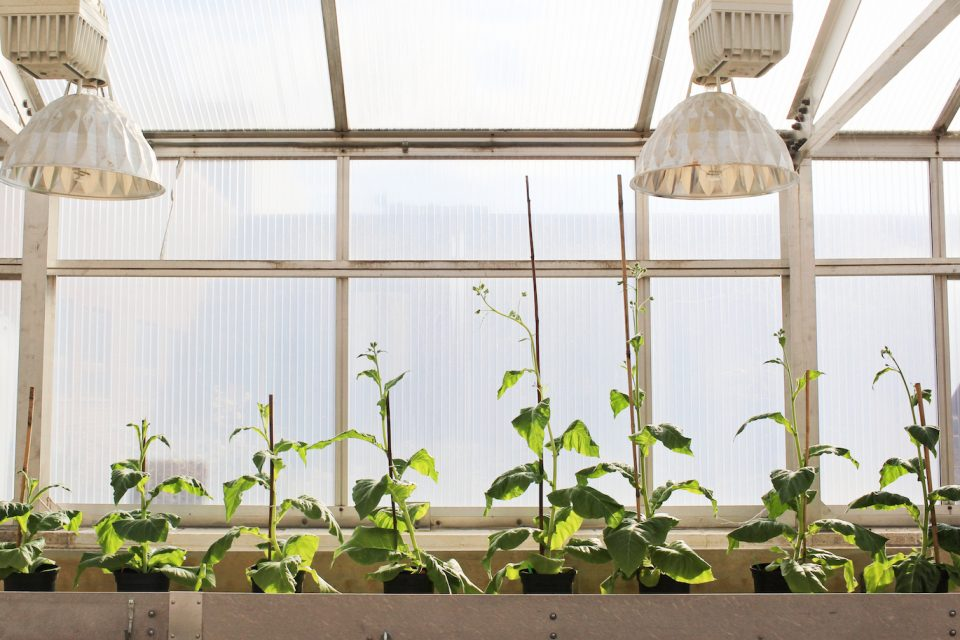 Crops can be modified with a photorespiratory shortcut that makes them 40 percent more productive in real-world conditions.
