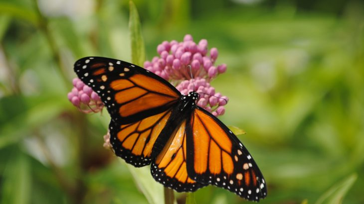 Monarch butterflies may be traveling to new vacation locations during the eastern North American winter season.