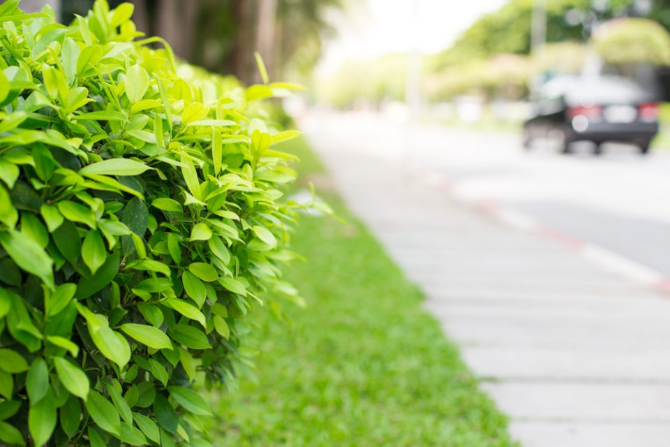 Roadside hedges are the most effective way to cut walking-level air pollution, a new study has found.