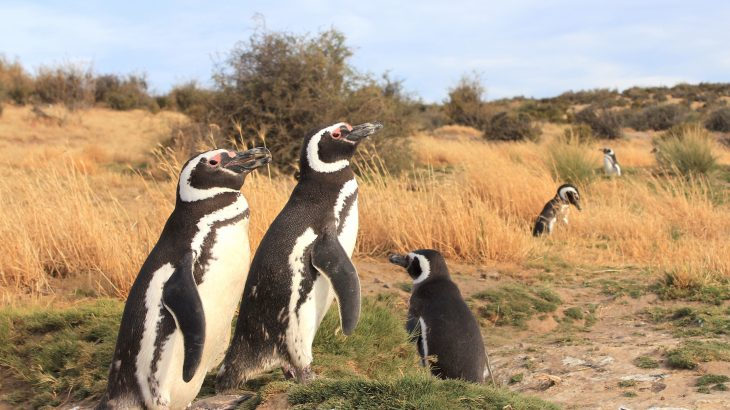 Female Magellanic penguins travel farther north than their male counterparts, which leads to thousands of female penguins getting stranded.