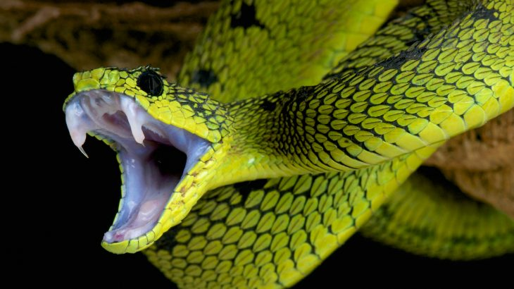 An international team of scientists may have unraveled the mystery of why some snakes have venom that is deadlier than others.