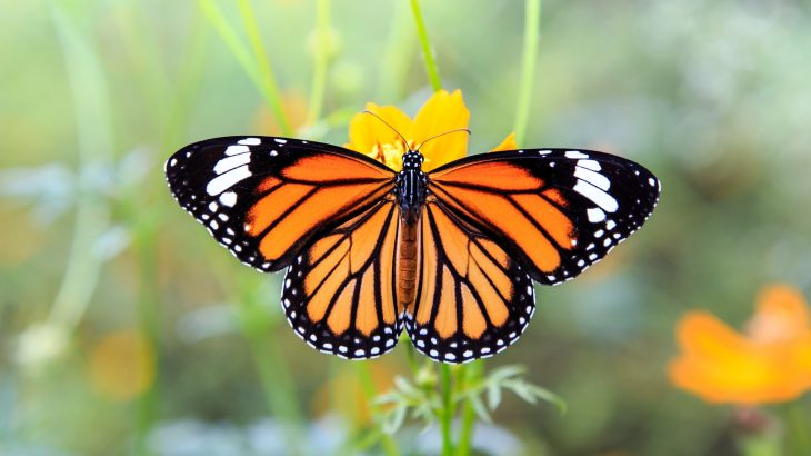 There has been an 86 percent decline in monarch butterflies since 2017 and this year's count recorded less than 30,000 butterflies overall.