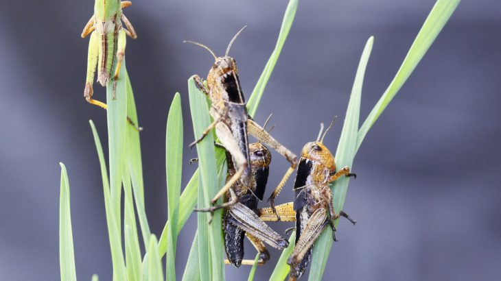 Scientists identified a mechanism in locusts that uses a red pigment as a switch to shift between green and black coloring.