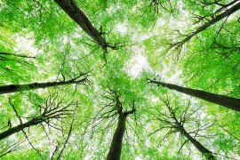 Ohio State University researchers are investigating a new disease that is killing beech trees and has already made its way into 11 counties.