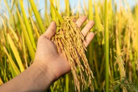 Researchers have found a way to convert specific molecules in rice plants into CO2 to help increase growth and crop yields.
