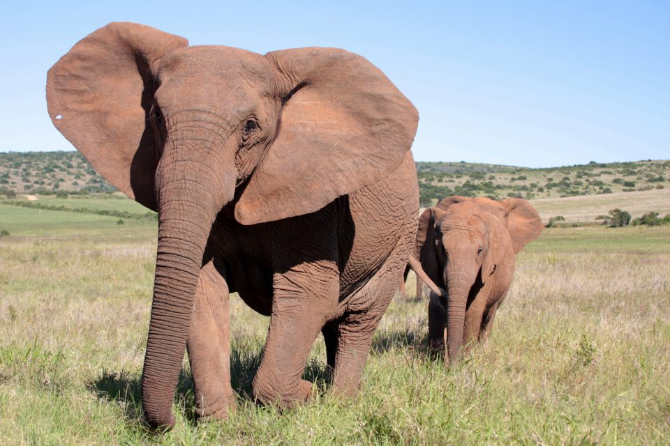 In a remarkable illustration of natural selection, African elephants are beginning to lose the tusks that make them so valuable to poachers.