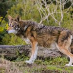 The pack of hybrids that live near the Texas Gulf Coast shows that even though the red wolf is extinct, its DNA lives on.