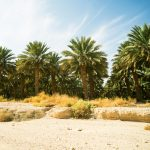 North African date palms are a hybrid between Middle Eastern cultivated date palms and a wild species found in Southern Turkey and Crete.