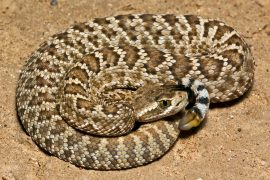 Mojave rattlesnakes that live in the southwestern United States and central Mexico have a lethal bite thanks to their venom.