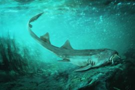 Hidden in the leftover sediment that once surrounded SUE's bones, experts have found the remains of a new shark species.