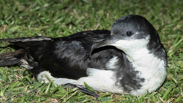 Researchers have found previously unknown colonies of two native Hawaiian bird species on the island of Oahu.
