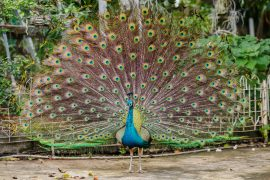 The flashy feathers which make peacocks so noticeable to one another may actually help them to hide from predators in the wild.
