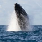 Male humpback whales make some of the most complex and unique whale songs compared to any other whale species.