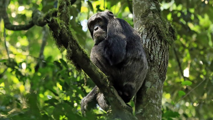 Kanyawara chimps became infected by the parainfluenza virus 3, while the Ngogo chimps were infected by the metapneumovirus.