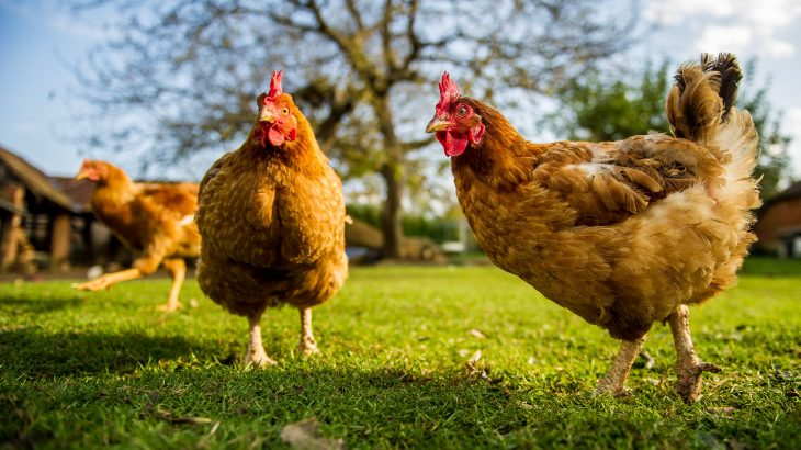 British scientists are developing gene-edited chickens, designed to be completely resistant to flu, in an effort to stop the next pandemic.