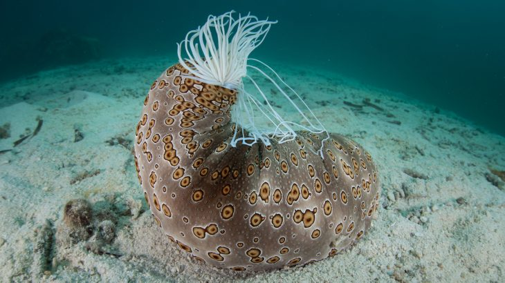 Sea cucumbers can suck water into their bodies through their anus, puffing up like balloons and floating along with ocean currents.