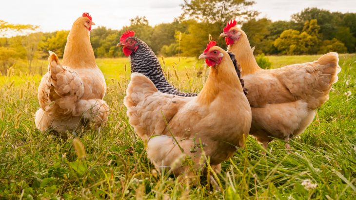 Scientists genetically modified chickens to produce high-quality cancer drugs in the whites of their eggs which can later be recovered.