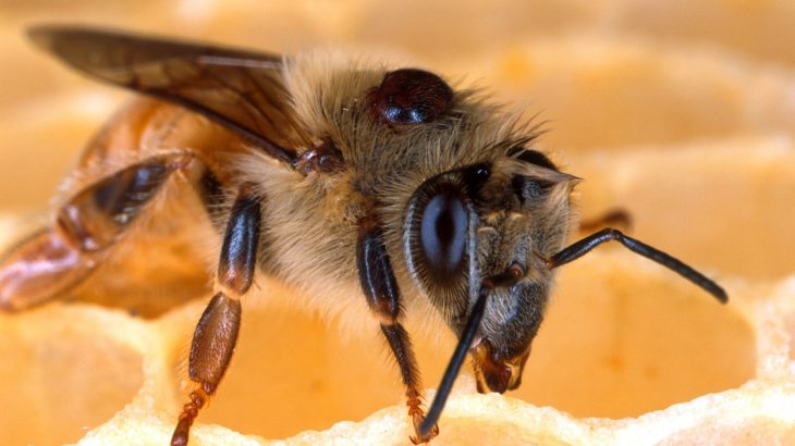 But a new study has found that Deformed Wing Virus doesn't pose as much of a threat to bees as previously thought.
