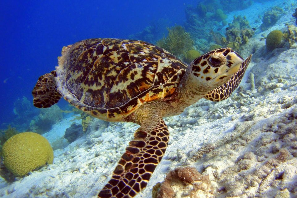 The Hawksbill turtle has a strikingly beautiful shell that has enchanted nature and animal lovers across the world.