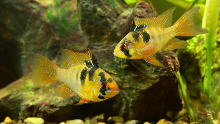 Cuckoldry describes how some male cichlid fish mate with socially paired up females and end up fertilizing eggs in another male's nest.
