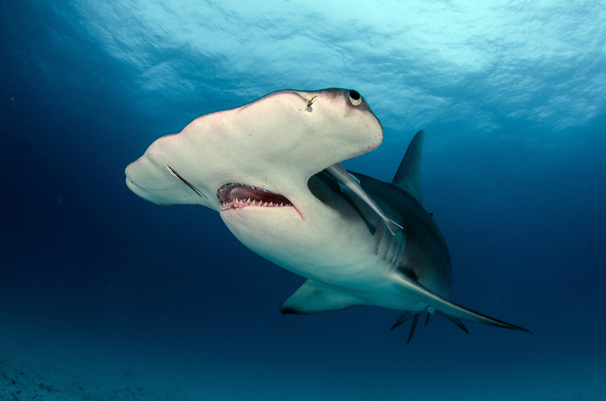 Cant touch this! Video shows blacktip sharks use shallow