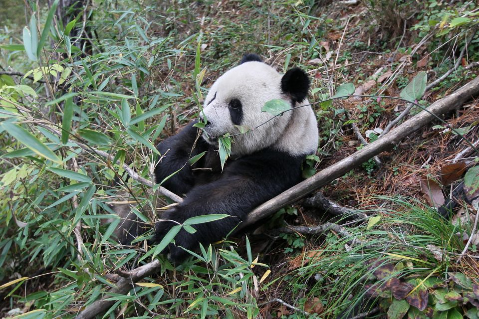 A new study published in Current Biology has found that extinct, ancient panda species likely did not live off bamboo alone.