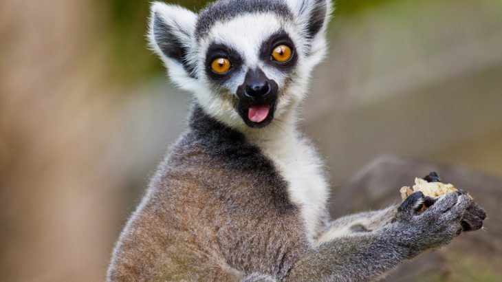 Social media often skews perceptions of endangered animals, as has been the case with lemurs, slow lorises, and barbary macaques.